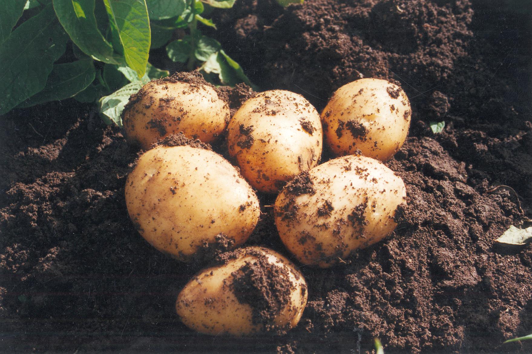 Comienza la recolección de la Patata Nueva en Andalucía, con buena calidad y volúmenes similares a los últimos años